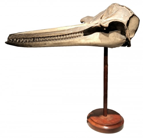 A Dolphin Skull dated 1891