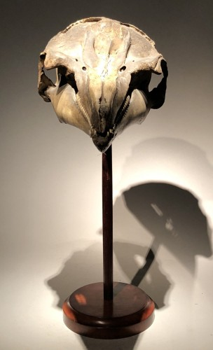 Curiosities  - A Dolphin Skull dated 1891