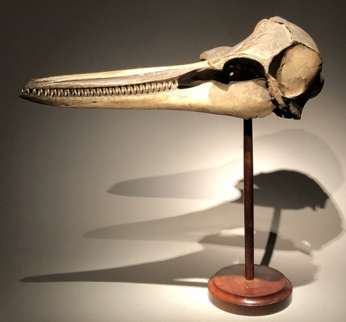 19th century - A Dolphin Skull dated 1891