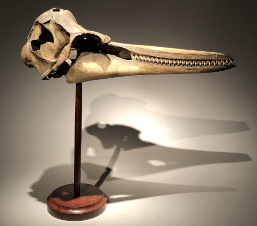 A Dolphin Skull dated 1891 -